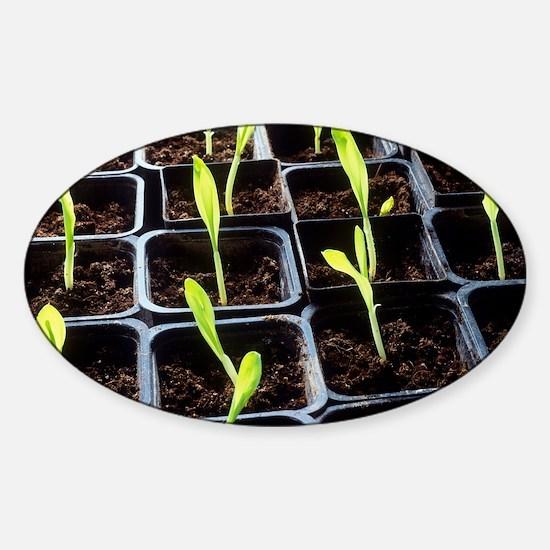 Maize seedlings Sticker (Oval)