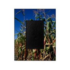 Maize crops Picture Frame