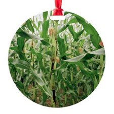 Maize crop Ornament