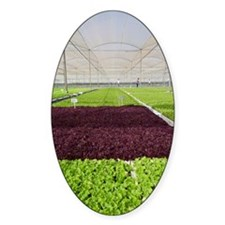 Lettuce in a greenhouse Decal