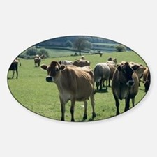 Jersey cows Decal