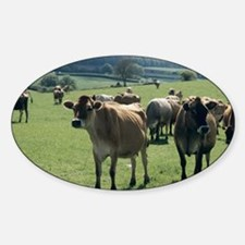 Jersey cows Sticker (Oval)