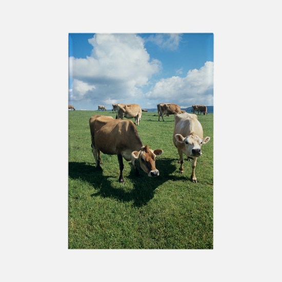 Jersey cows Rectangle Magnet