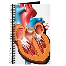 Human heart anatomy, artwork Journal