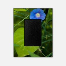 Morning Glory (Ipomoea hederacea) Picture Frame