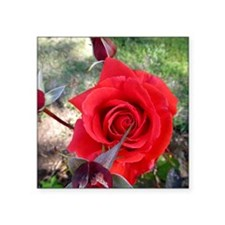 """red rose Square Sticker 3"""" x 3"""""""
