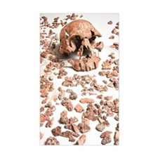 Hominid fossil skull 1470 Decal