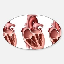 Heart valves, artwork Sticker (Oval)