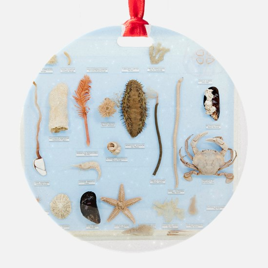 Marine life specimens Ornament