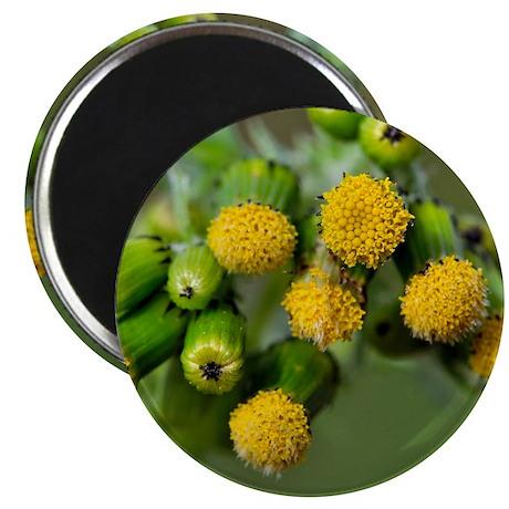 Groundsel (Senecio vulgaris) Magnet