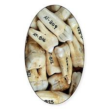 Fossilised teeth, Sima de los Hueso Decal