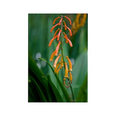 Kniphofia thomsonii Rectangle Magnet