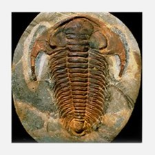 Fossil trilobite from the Cambrian pe Tile Coaster