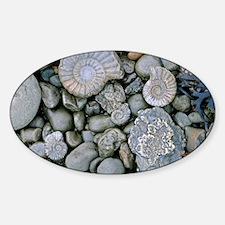 Fossilised ammonite shell among peb Sticker (Oval)