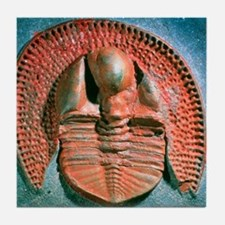 Fossil trilobite from the Ordovician  Tile Coaster
