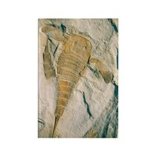 Fossil of a sea scorpion, Eurypte Rectangle Magnet