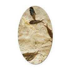 Fish fossils Oval Car Magnet