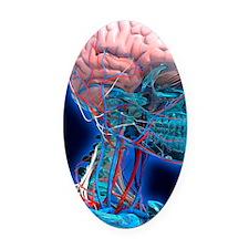 Human head anatomy, artwork Oval Car Magnet