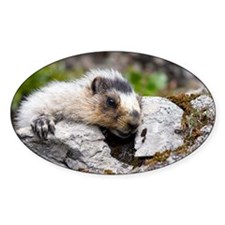 Hoary marmots Decal