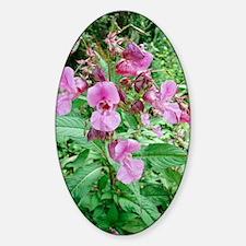 Himalayan balsam (Impatiens glandul Decal