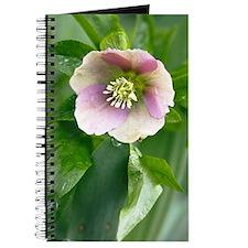 Hellebore (Helleborus orientalis) Journal