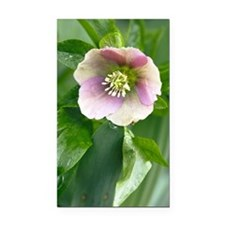 Hellebore (Helleborus orienta Rectangle Car Magnet