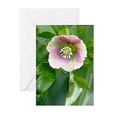 Hellebore (Helleborus orientalis) Greeting Card