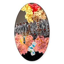 Growth hormone receptor, molecular  Decal