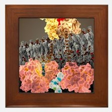Growth hormone receptor, molecular mod Framed Tile