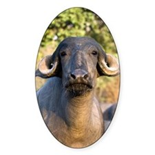 Domestic Asian water buffalo Decal