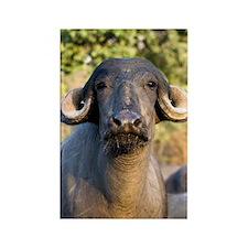 Domestic Asian water buffalo Rectangle Magnet