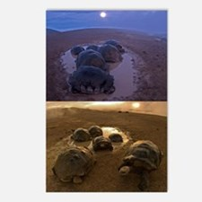 Galapagos giant tortoise  Postcards (Package of 8)