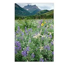 Gaillardia aristata Postcards (Package of 8)