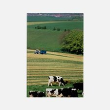 Cows grazing in a field with haym Rectangle Magnet