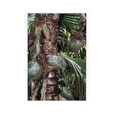 Coco de mer (Lodoicea maldivica)  Rectangle Magnet