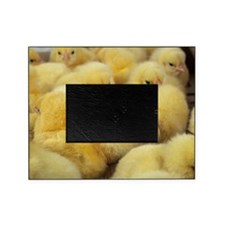 Chicks Picture Frame