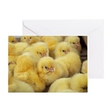 Chicks Greeting Card