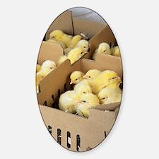 Chicks Sticker (Oval)