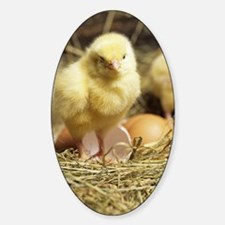 Chick Sticker (Oval)
