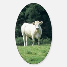 Charolais cow Decal