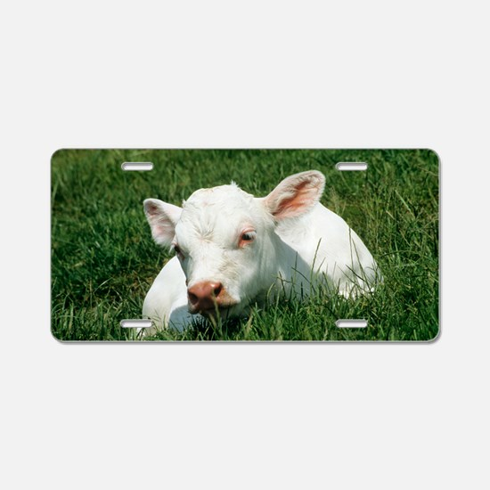 Charolais calf Aluminum License Plate