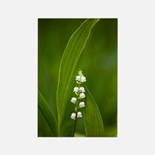 Convallaria majalis (Lily of the  Rectangle Magnet
