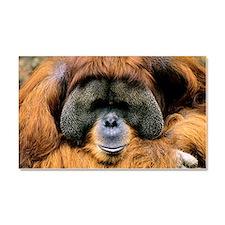 Bornean orangutan Car Magnet 20 x 12