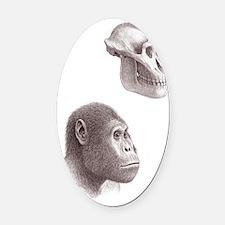 Australopithecus garhi skull and f Oval Car Magnet