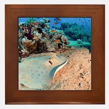 Blue-spotted stingray Framed Tile