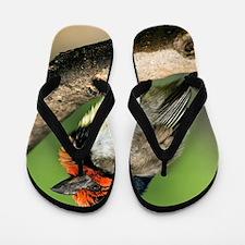 Black-collared barbet Flip Flops