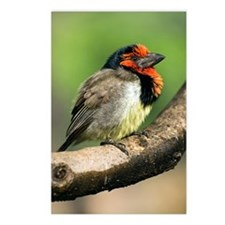 Black-collared barbet Postcards (Package of 8)