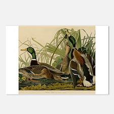 Mallard duck Audubon Bird Postcards (Package of 8)