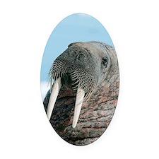 Atlantic walrus Oval Car Magnet