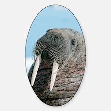 Atlantic walrus Decal